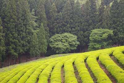 groene theevelden